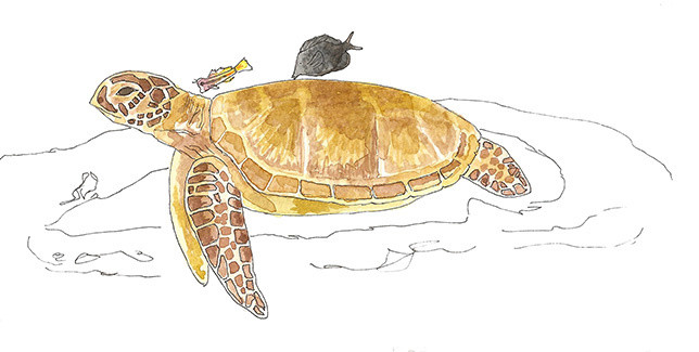 Turtle, blenny & surgeonfish