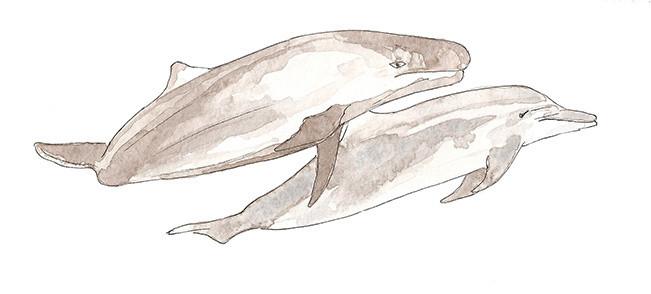 False Killer Whale & Bolltlenose dolphin