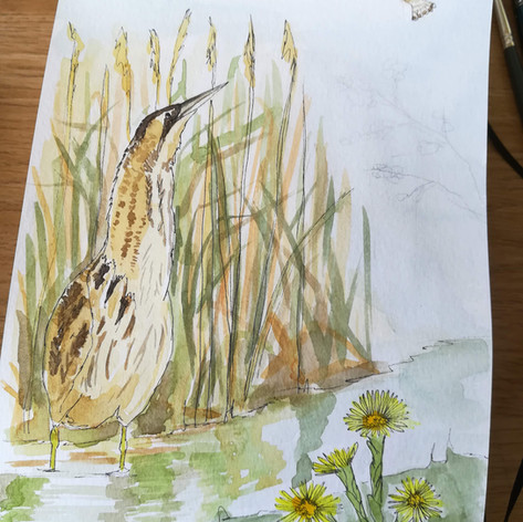 Bittern Illustration