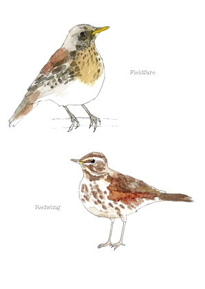 Fieldfare and redwing copy