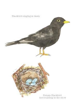 Blackbird and nest copy