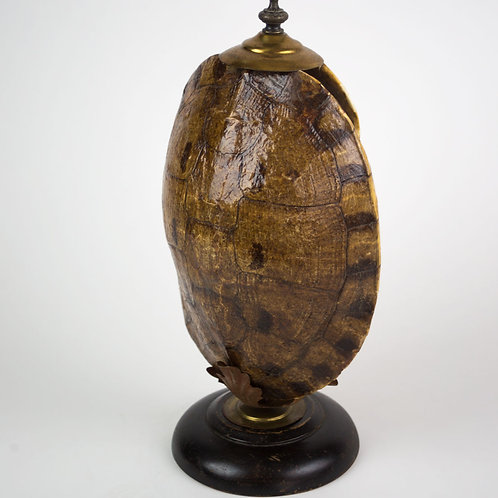 Turtle tortoise  Antique mount in the manner of Émile Deyrolle 19th.