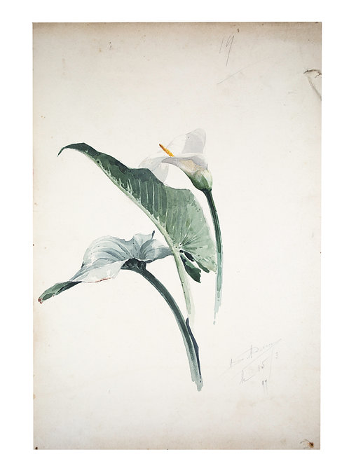 FRENCH aquarellist painting of White Calla Lily Henri Adam 1890