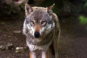 wolf-635063_1920.jpg