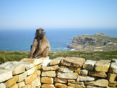 Chacma baboon at Cape Point