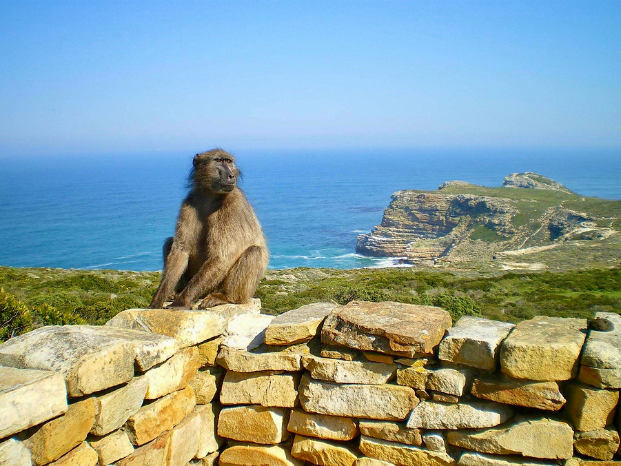 Chacma baboon at cape point. Private Peninsula tour
