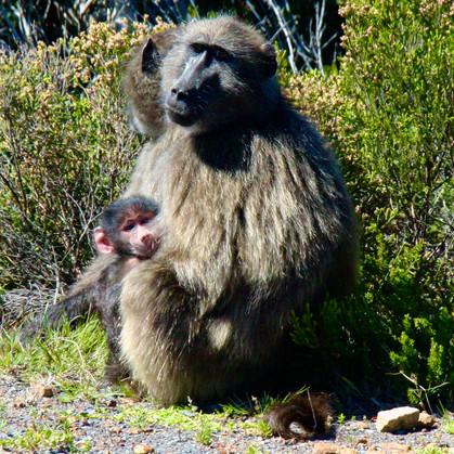 Chacma baboon mom and baby