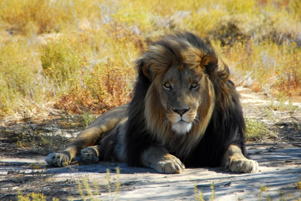 lion3-1030x689.jpg