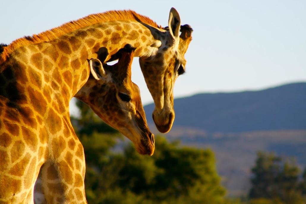 giraffe-1030x687.jpg