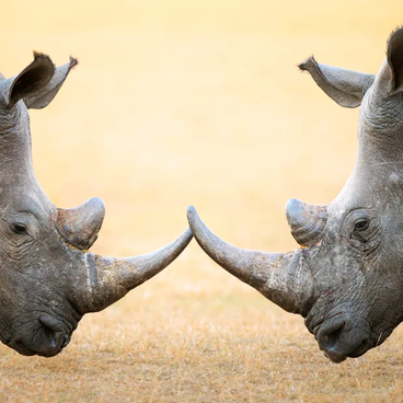 Interesting facts you may not know about Rhinos