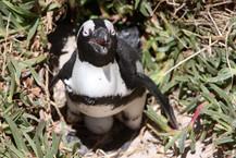 African Penguin on the nest