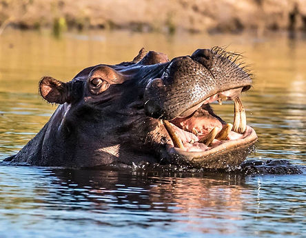 Hippopotamus in the Zambezi River