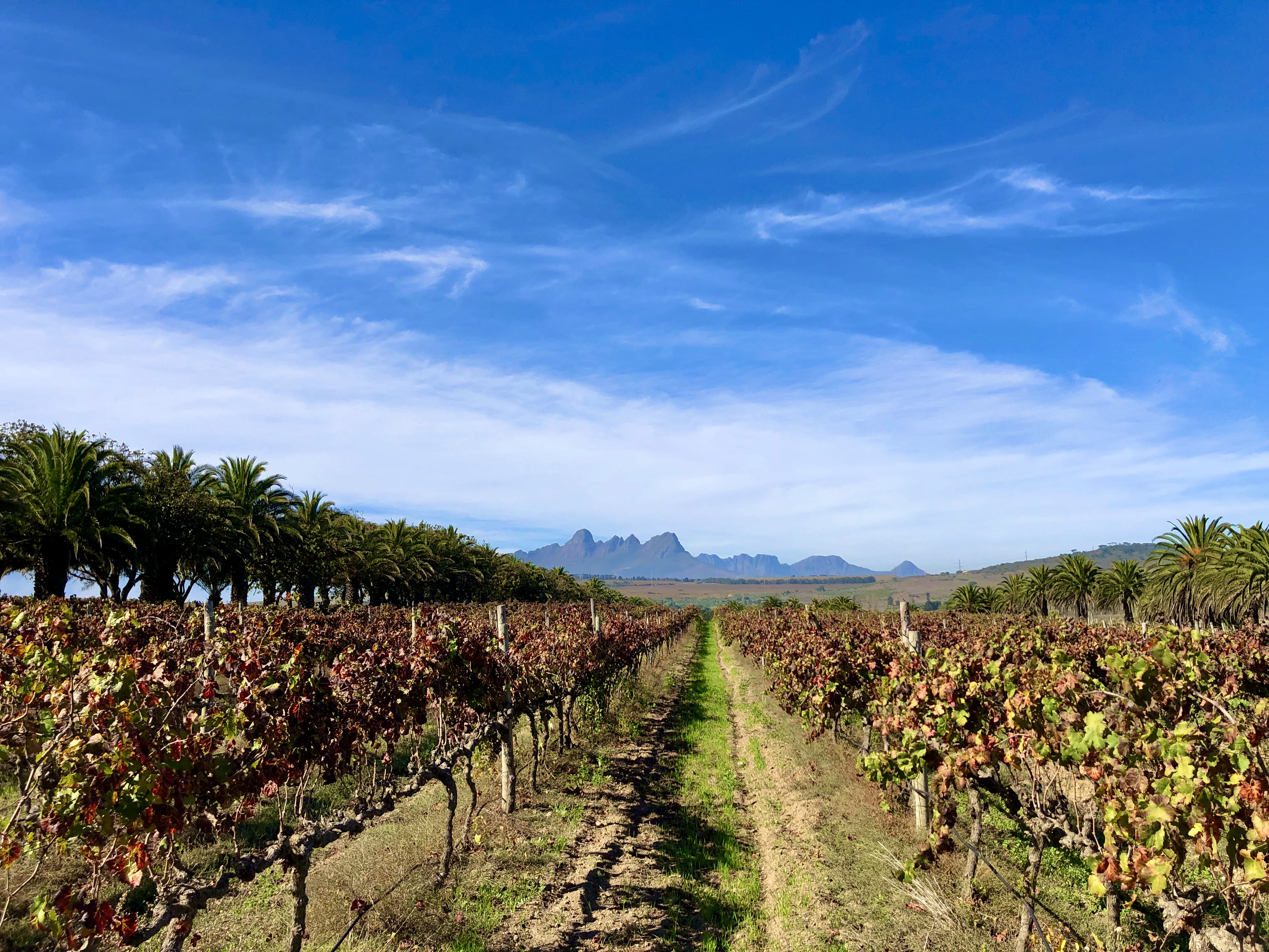 vineyard in the cape winelands