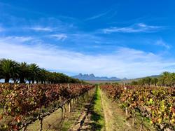 vineyard in the cape winelands