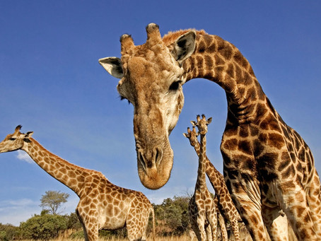 A cross between a camel and a leopard?  Annually World Giraffe Day is celebrated on 21 June