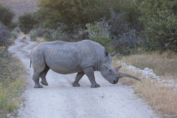 rhinoceros in a private game reserve in namibia