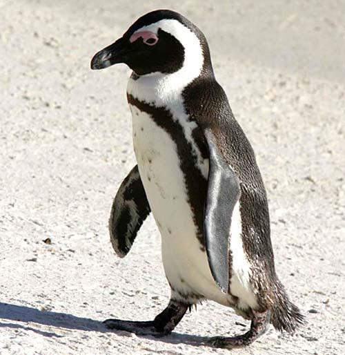 African Penguin at Boulders Beach