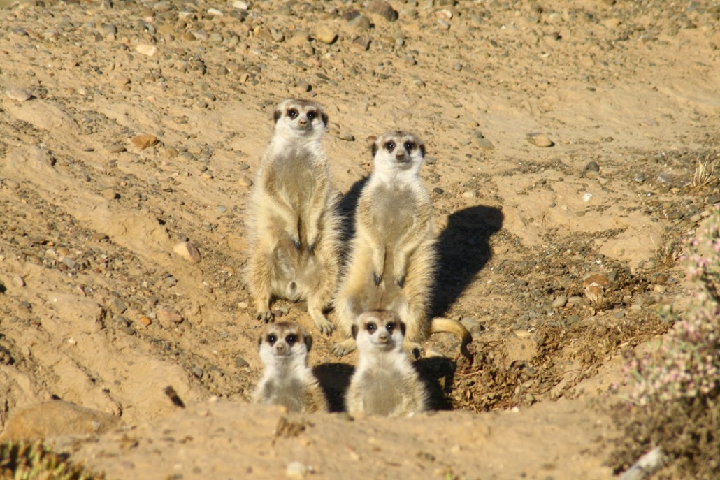 meerkat-1030x687.jpg
