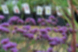 verbena-for-sale.jpg