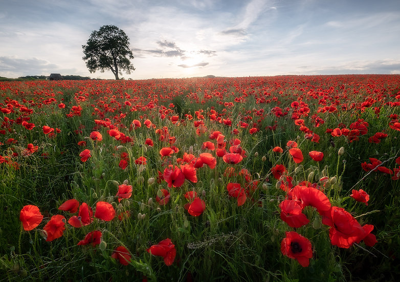 Poppies, Baslow, Peak district