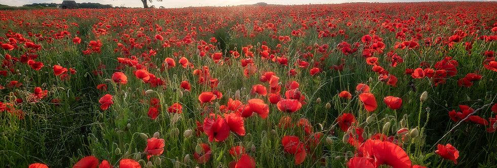 Poppies, Baslow, Peak district