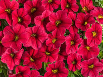 Calibrachoa Superbells Cherry Red