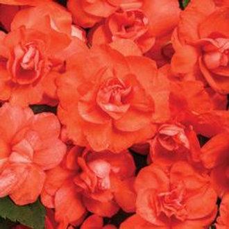 Double Impatiens Fiesta Coral Orange