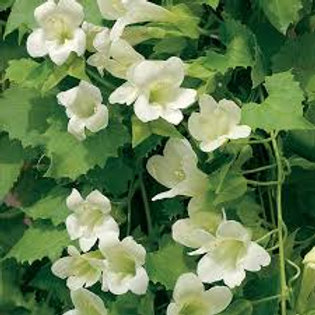 Lophospermum Lofos White