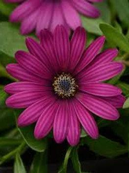 Osteospemum Daisy Falls Purple