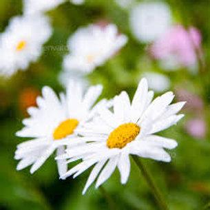 Daisy Marguerite White