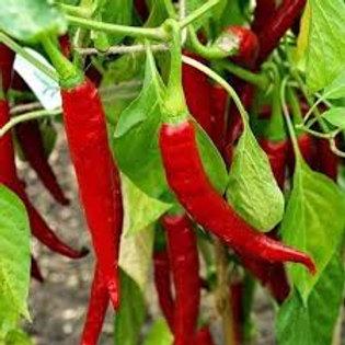 "Pepper, Hot ""Ring of Fire"""