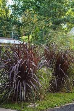 Graceful Grasses 'Vertigo'