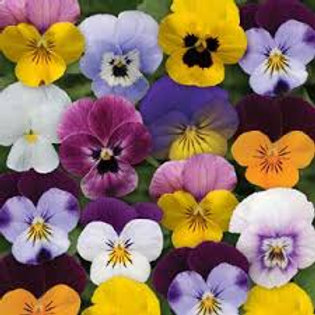 Viola Sorbet XP Spring Select Mix