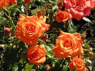 Rose, Marina