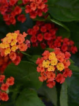 Latana Bloomify Red