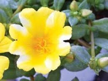 Purslane Colorblast Lemon Twist
