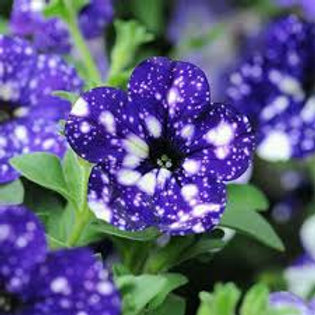Petunia Headliner Night Sky