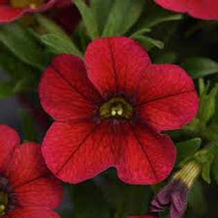 Calibrachoa MiniFamous Uno Double Dark Blue