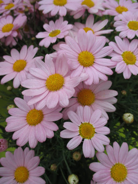 Glory Pink Argyranthemum PPAF