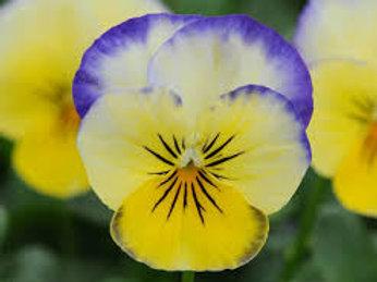 Viola Sorbet Lemon Blueberry Swirl