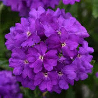 Verbena Cadet Upright Violet Blue