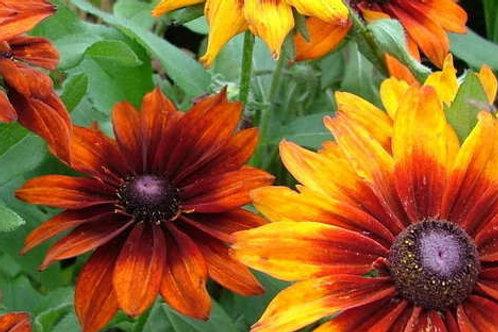 Rudbechia Autumn Colors