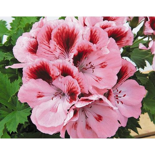 Elegance Rose Bicolor - MARTHA WASHINGTON