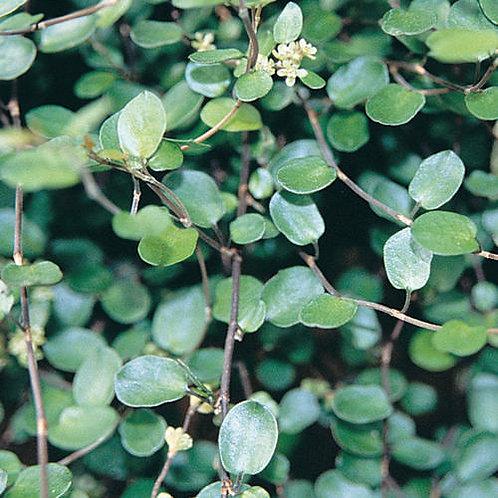 Muehlenbeckia Complexa Big Leaf Creeping Wire Vine