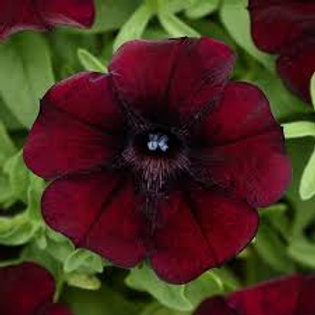 Petunia Starlet Pinot Red