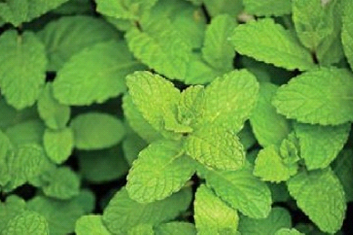 Mint Peppermint Mentha