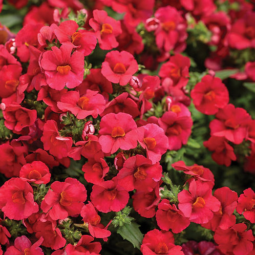 Nemesia Hybrid Sunsatia Cranberry Red