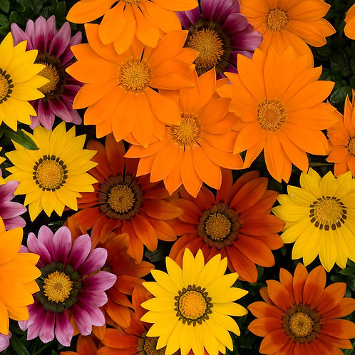 New Day® Bright Mixture Gazania