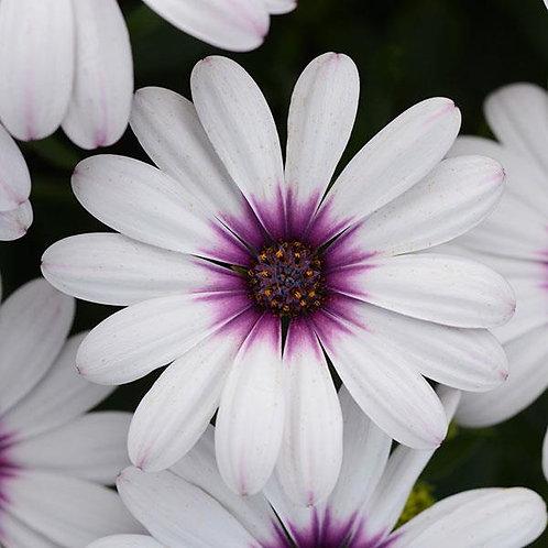 Osteospermum Lavender Frost