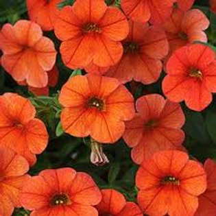 Calibrachoa Cabaret Orange
